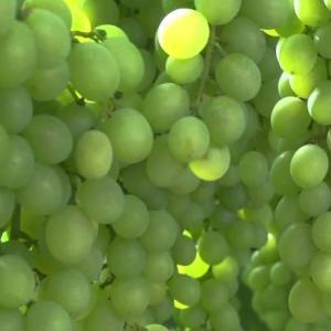 Pitloze  Witte druiven los